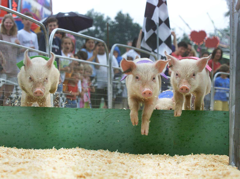 Carrera de cerdos en la Feria del Condado de Arlington