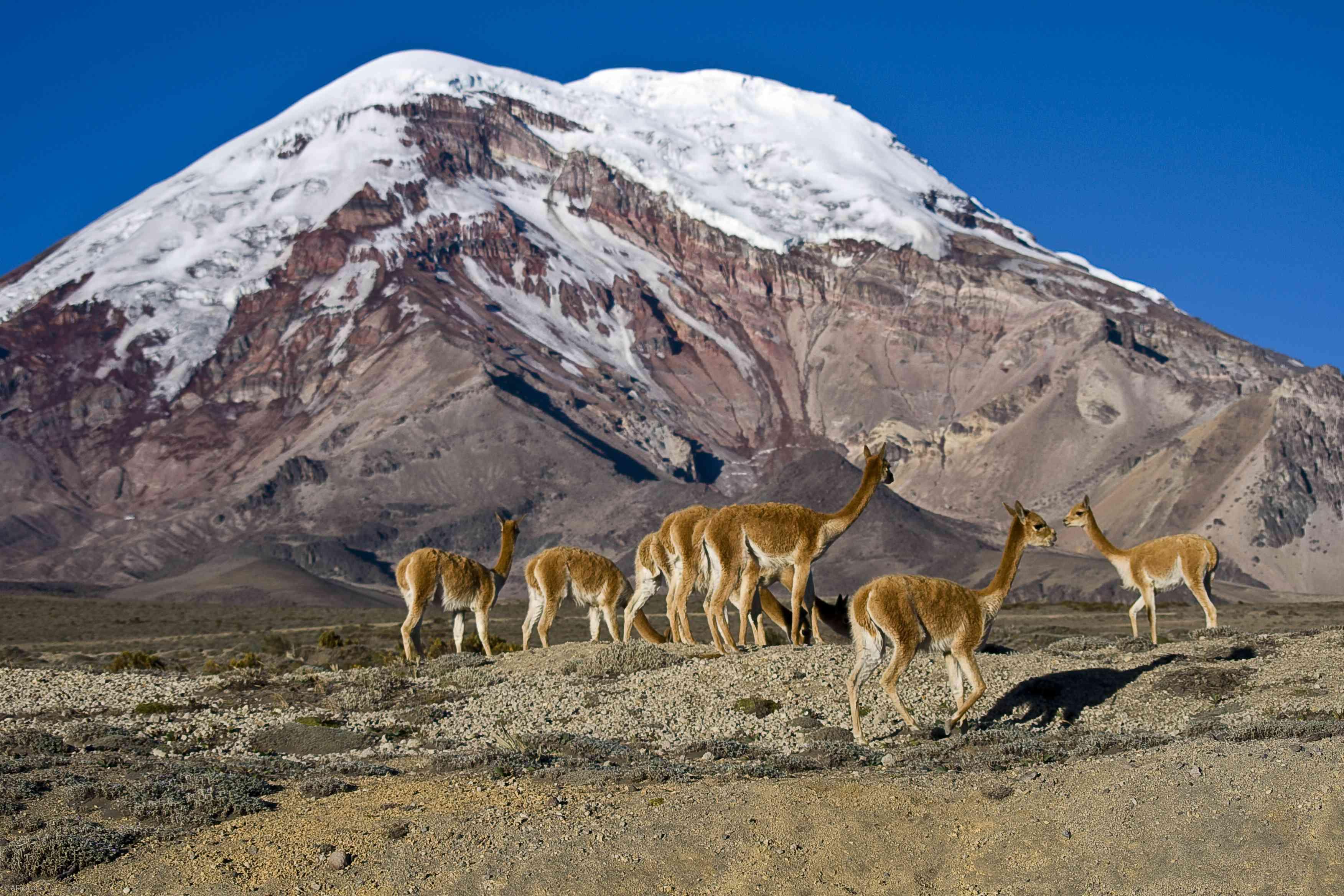 El Chimborazo and vicuñas