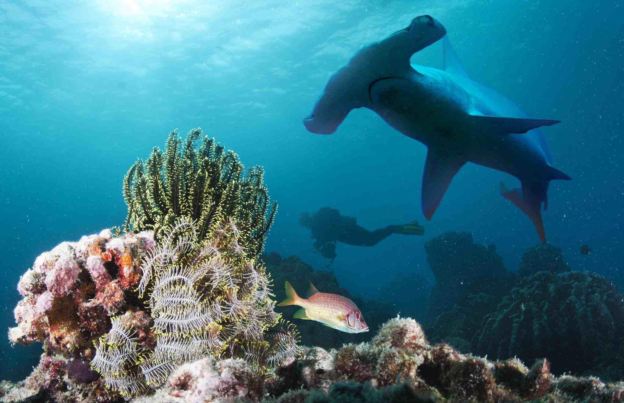 Hammer head shark and scuba diver at Layang-Layang resort