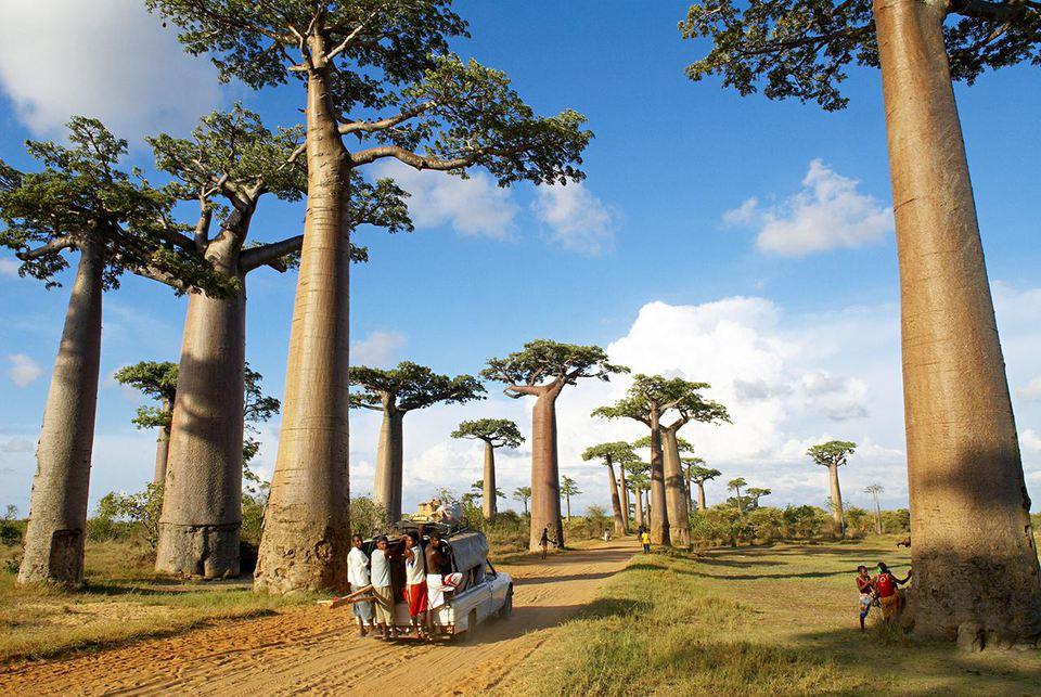 Traveling down the Avenue of the Baobabs in Madagascar