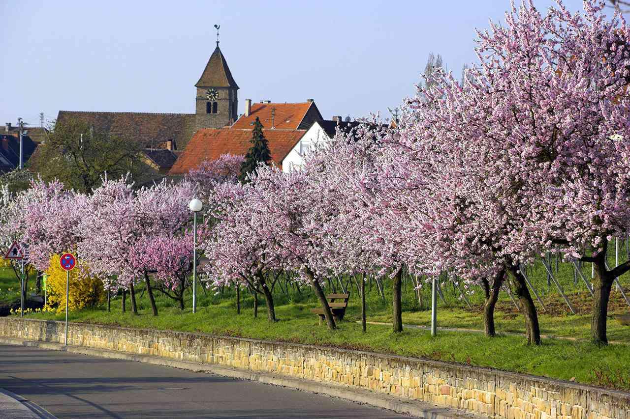 Amond tree blooming. Rhineland Palatinate, Gimmeldingen, Germany, April 2006