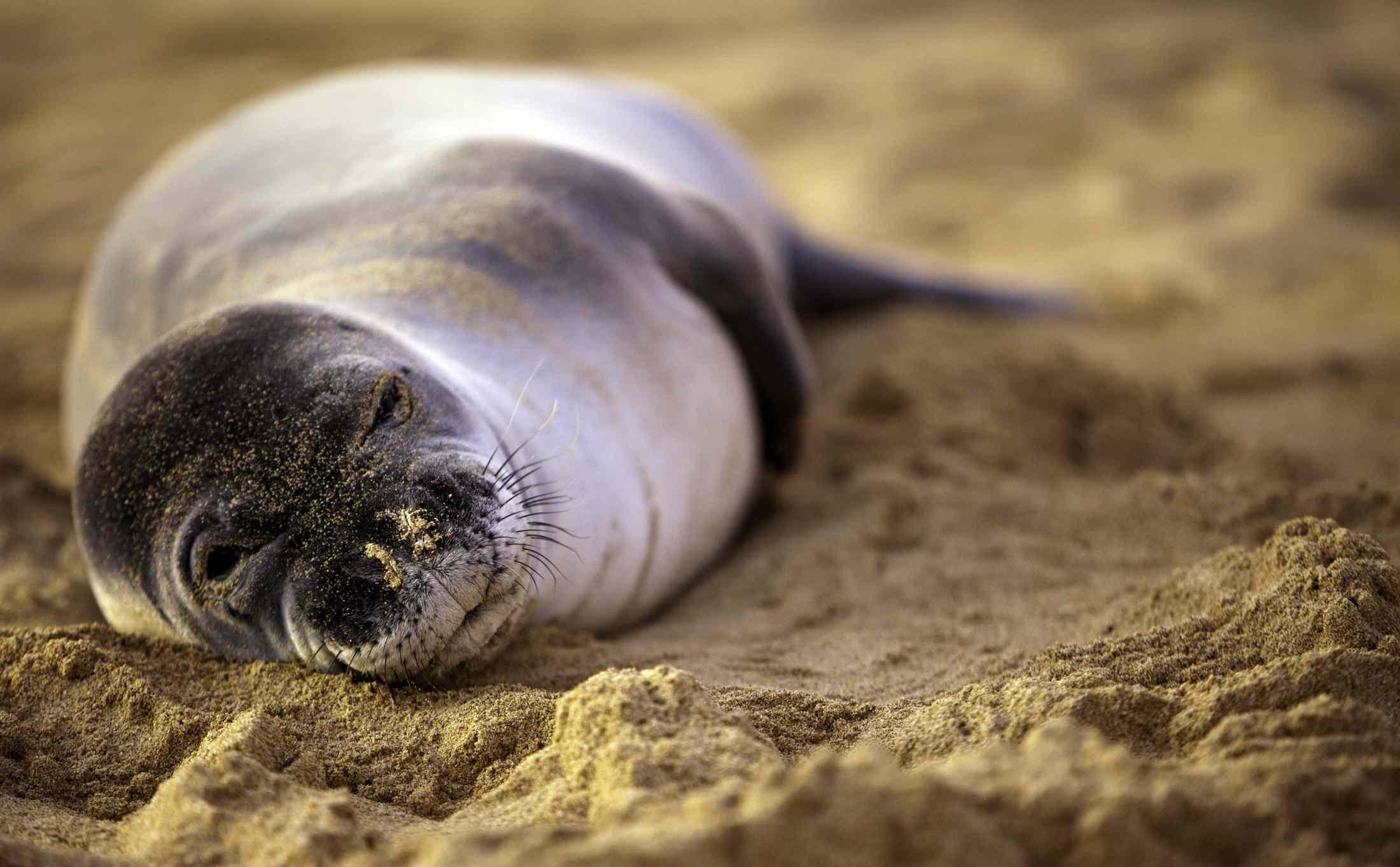 An endangered Hawaiian monk seal rests on the beach