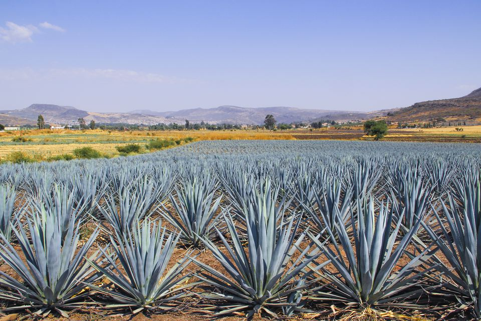 The blue agave landscape of Tequila, Jalisco