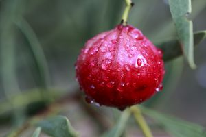 red quandong fruit on a treet covered in dew