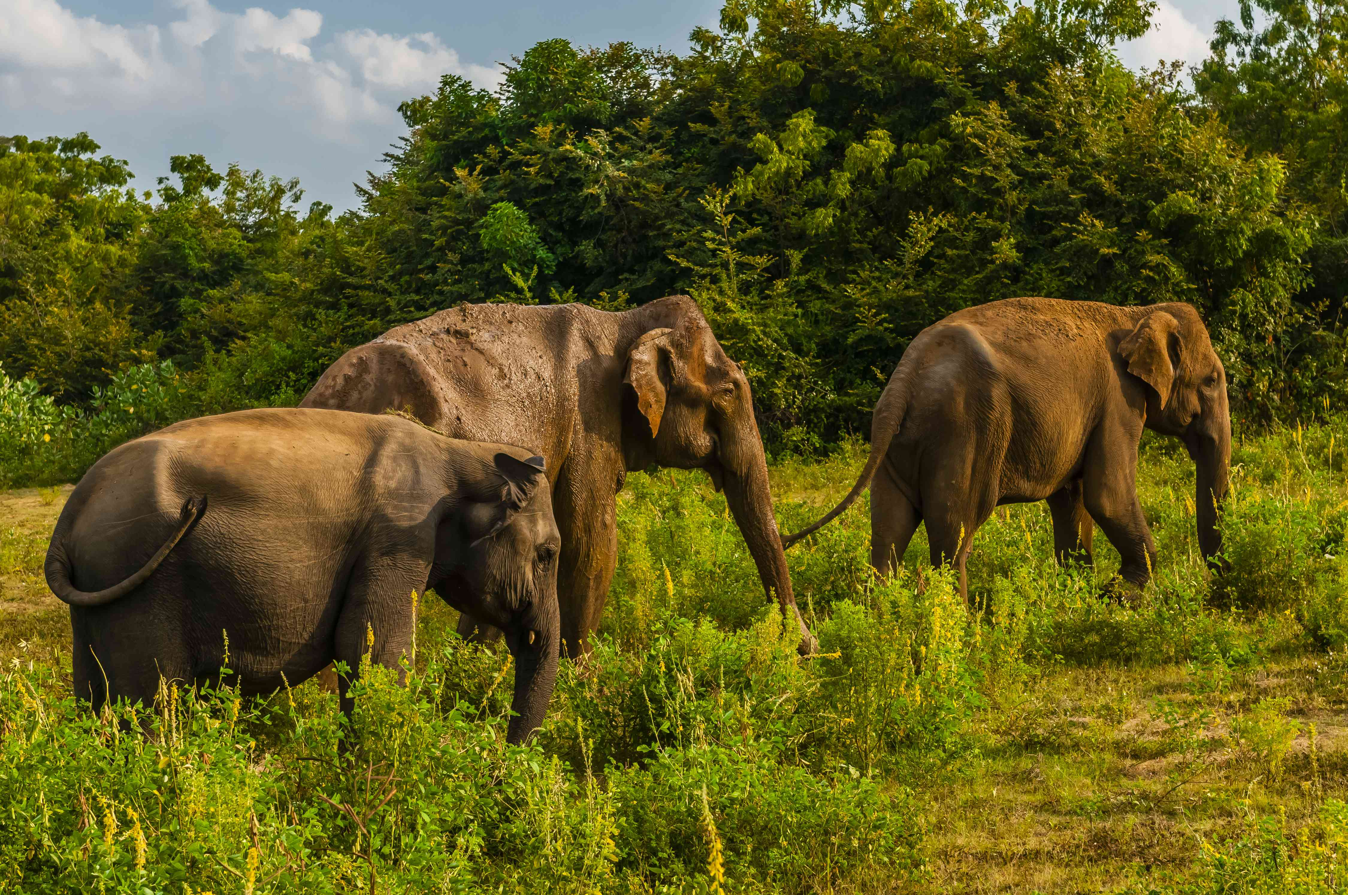 Three elephants in Udawalawe National Park in Sri Lanka