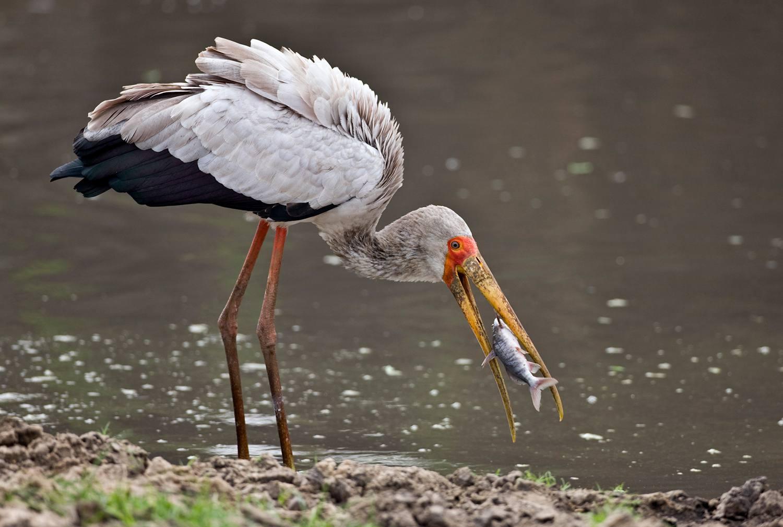 Crane eating a fish