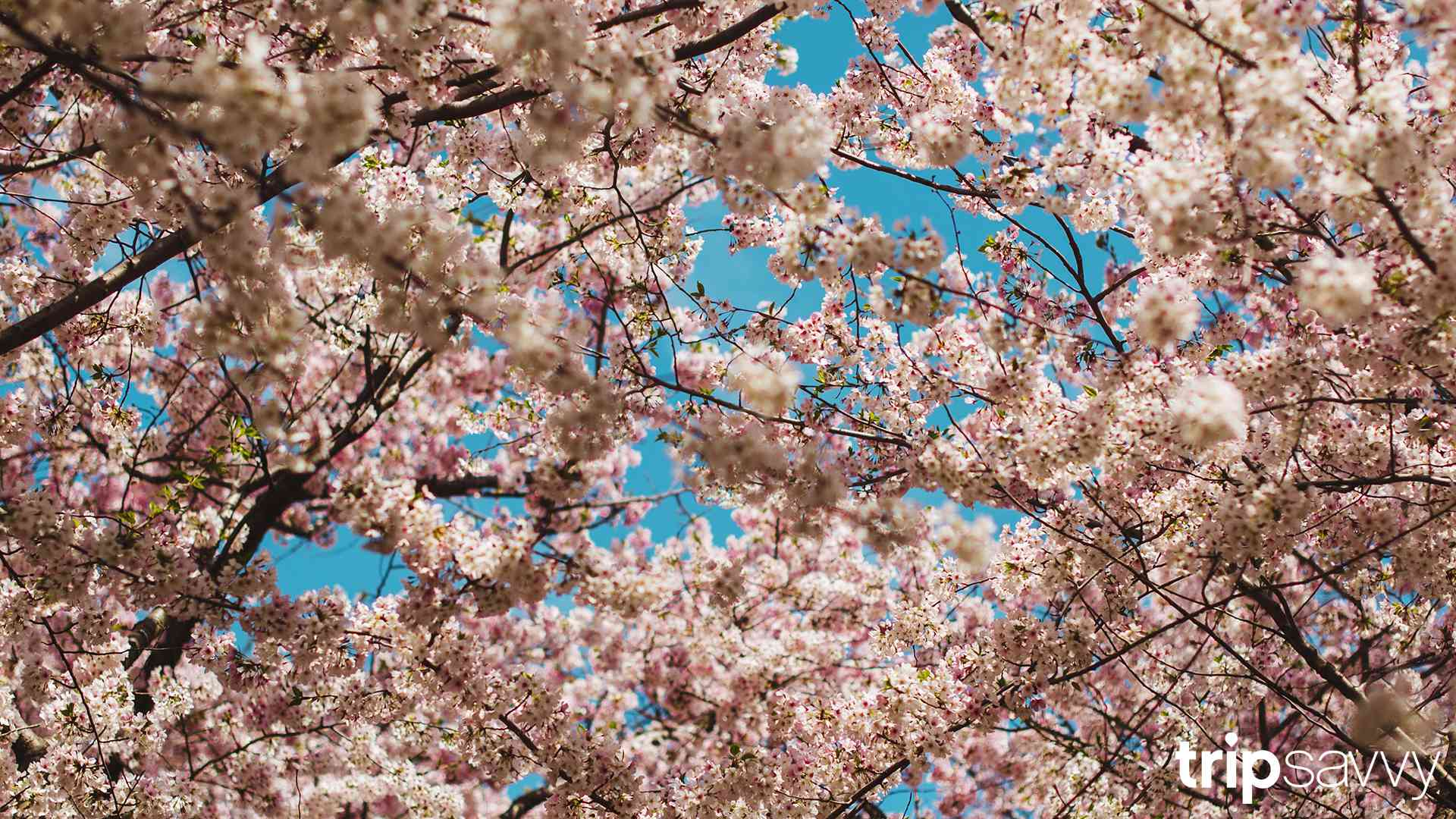 Close up of Cherry Blossoms in Washington D.C.