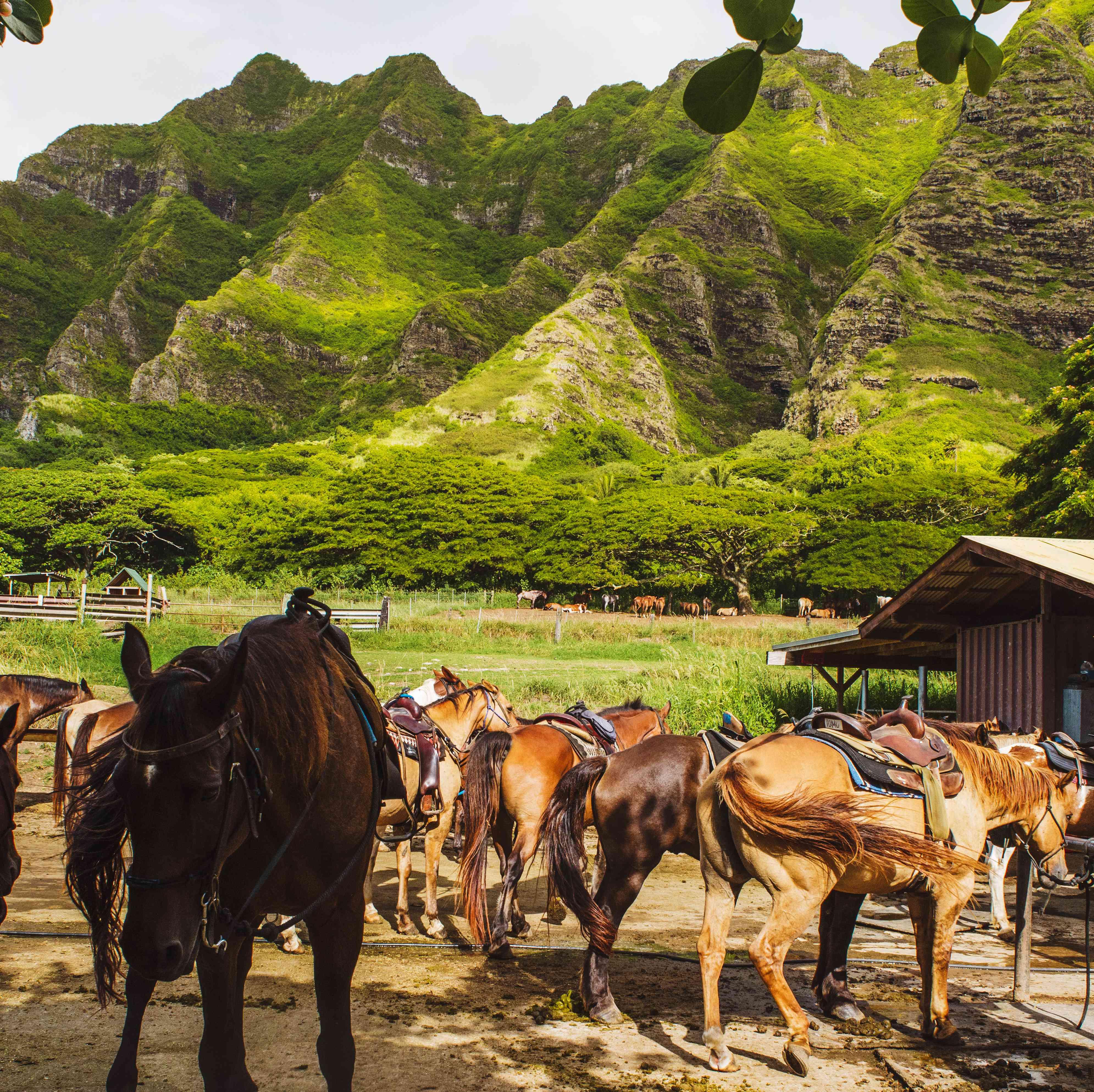 Horses at Kualoa Ranch