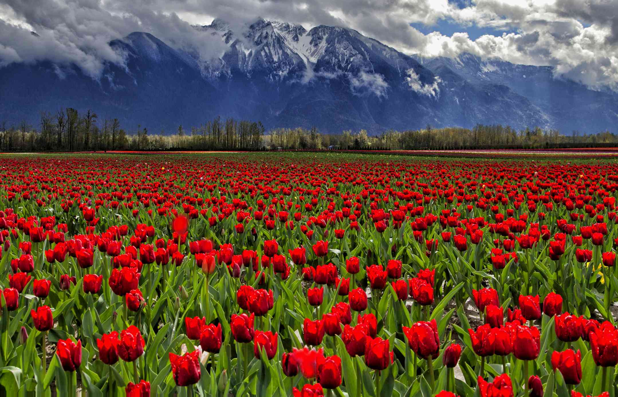 Colorful tulip fields in British Columbia