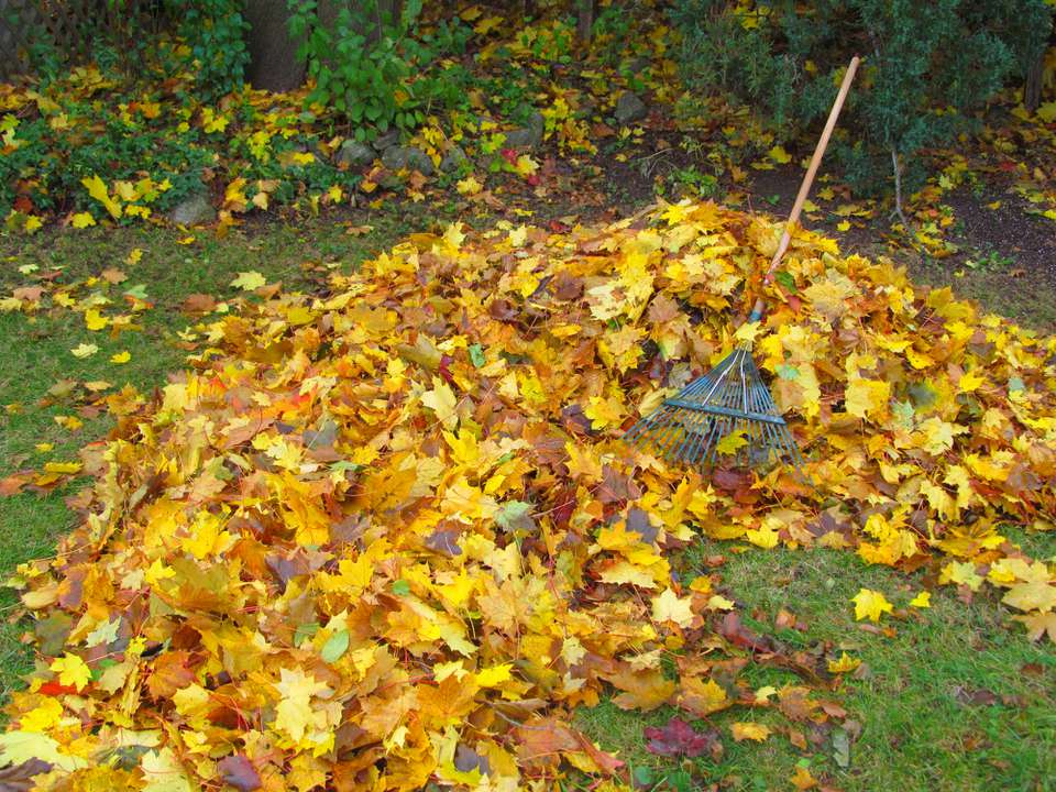 A pile of raked fallen colored Maple leaves on the ground in Guelph, Ontario, Canada
