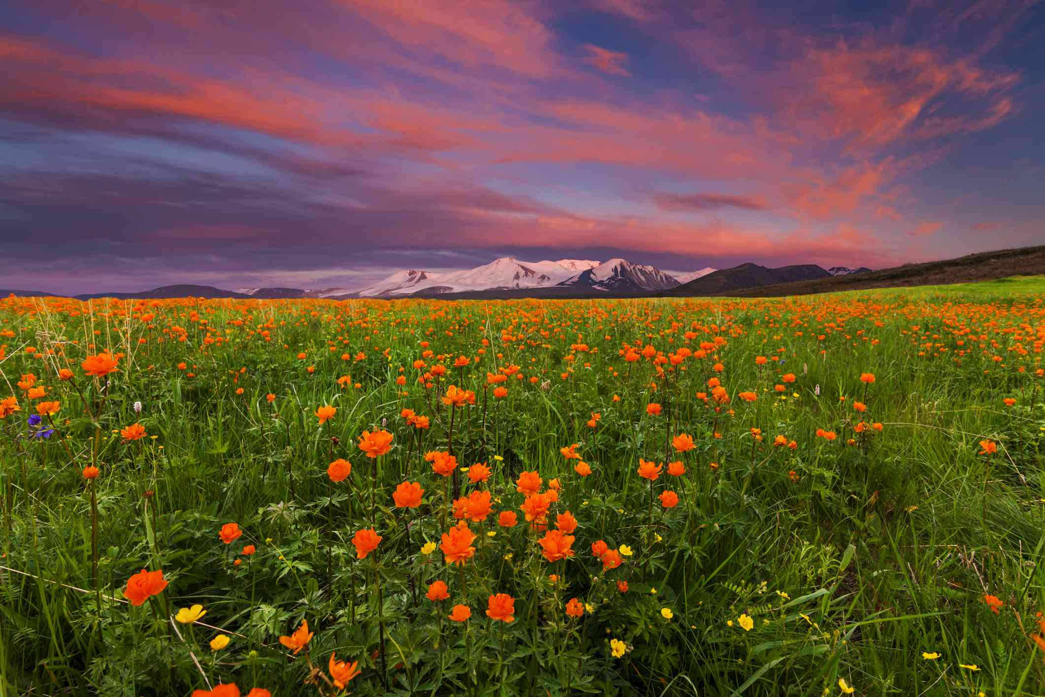 Flowering Russian globe-flower in the mountains