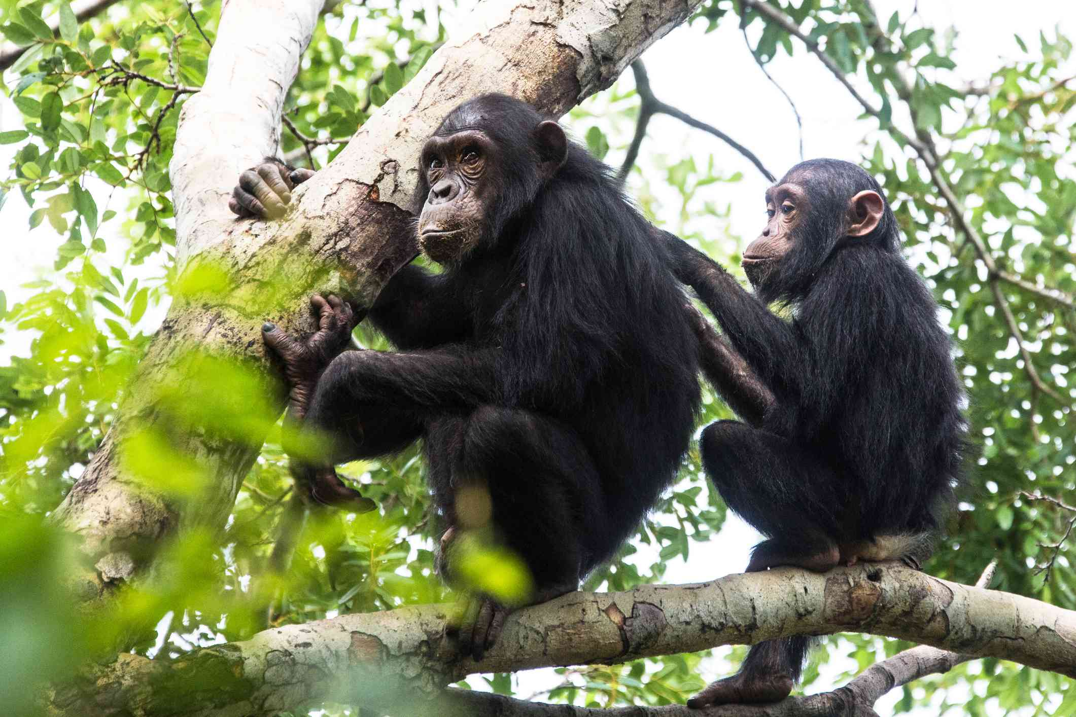 Chimpanzees grooming each other in Gombe National Park
