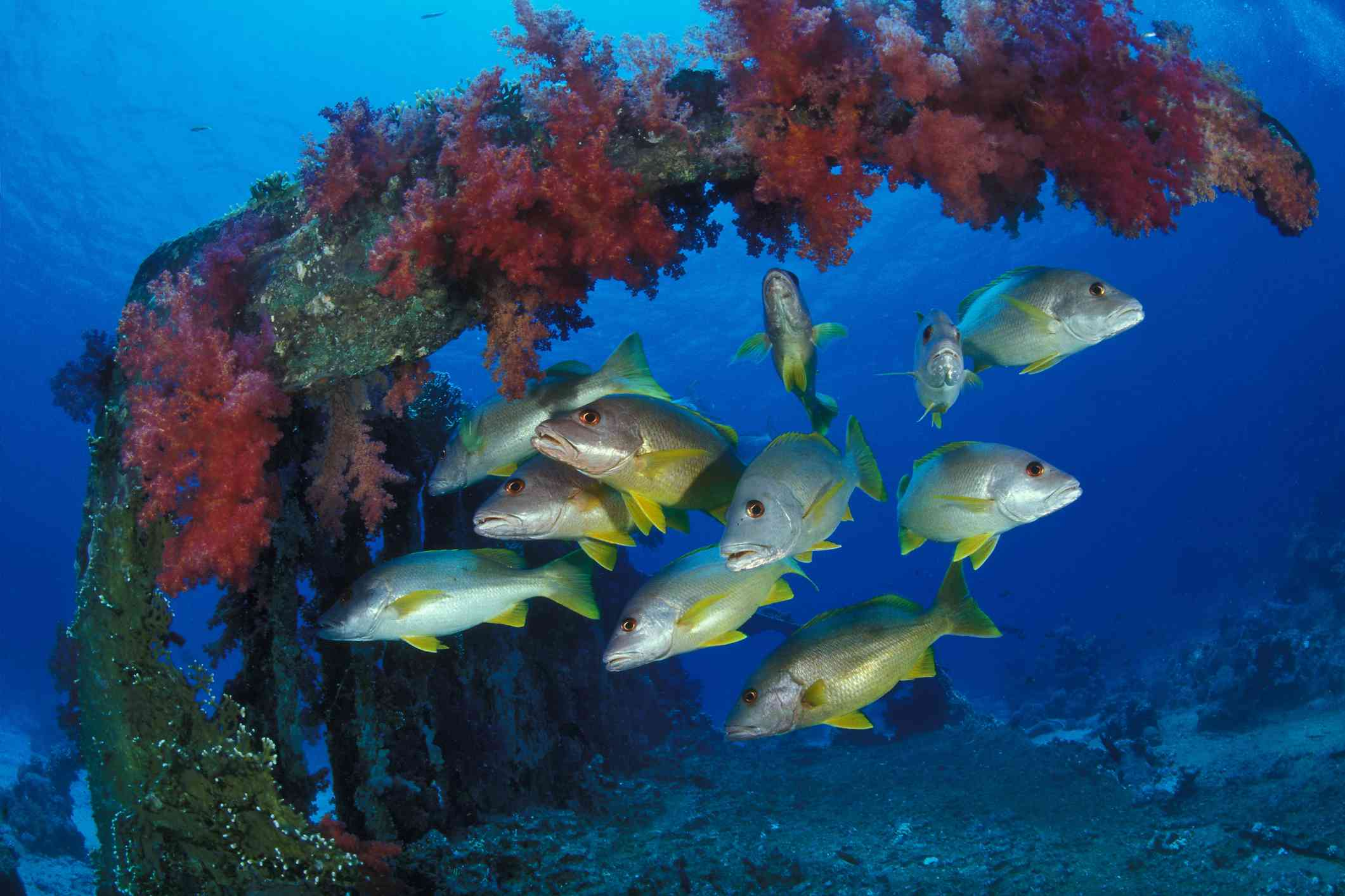 Snapper, Red Sea, Egypt