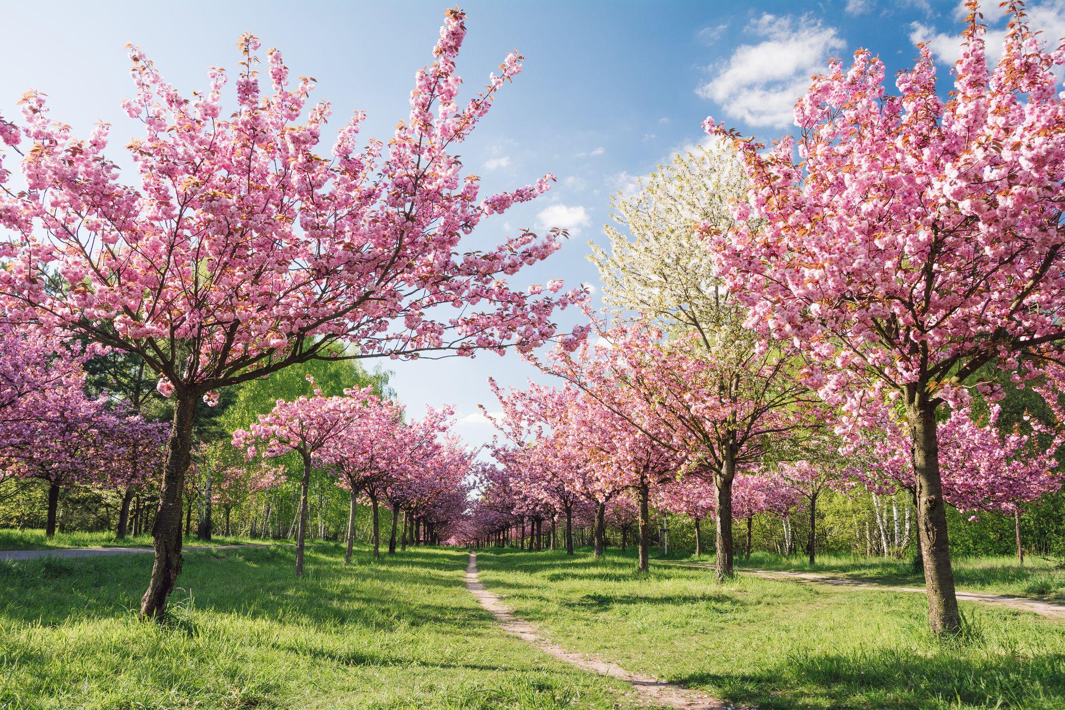 Berlin Cherry Blossom