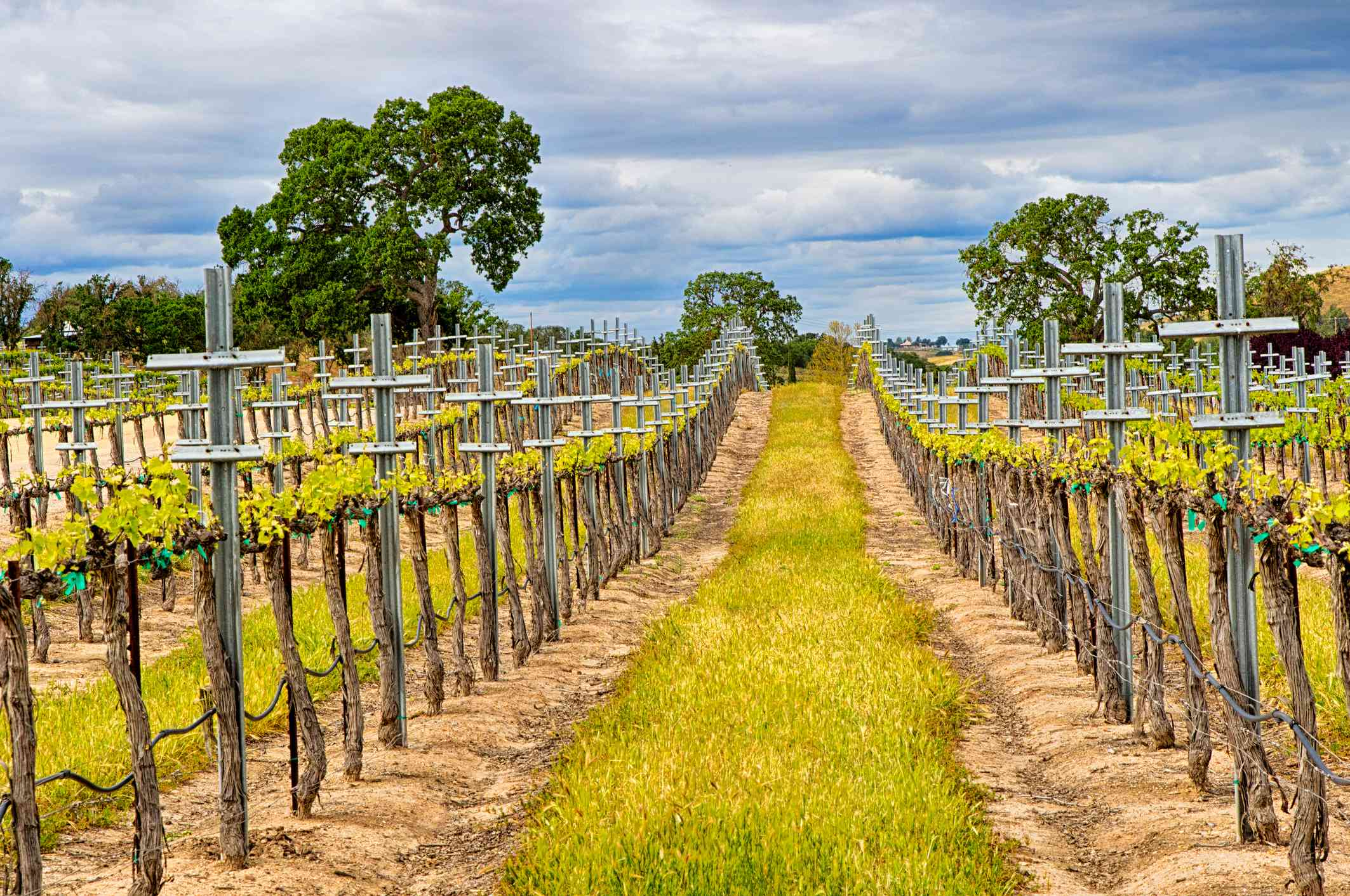 A vineyard near Paso Robles, CA, with new growth in the Spring.