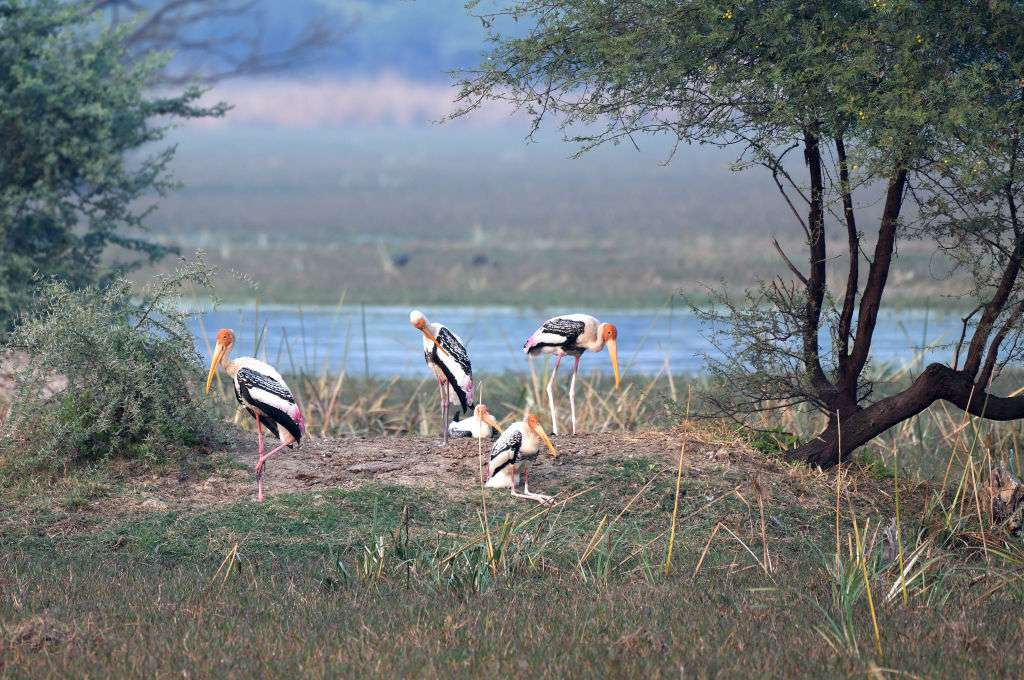 Painted storks in the landscape of wetland of Keoladev national park in Bharatpur.