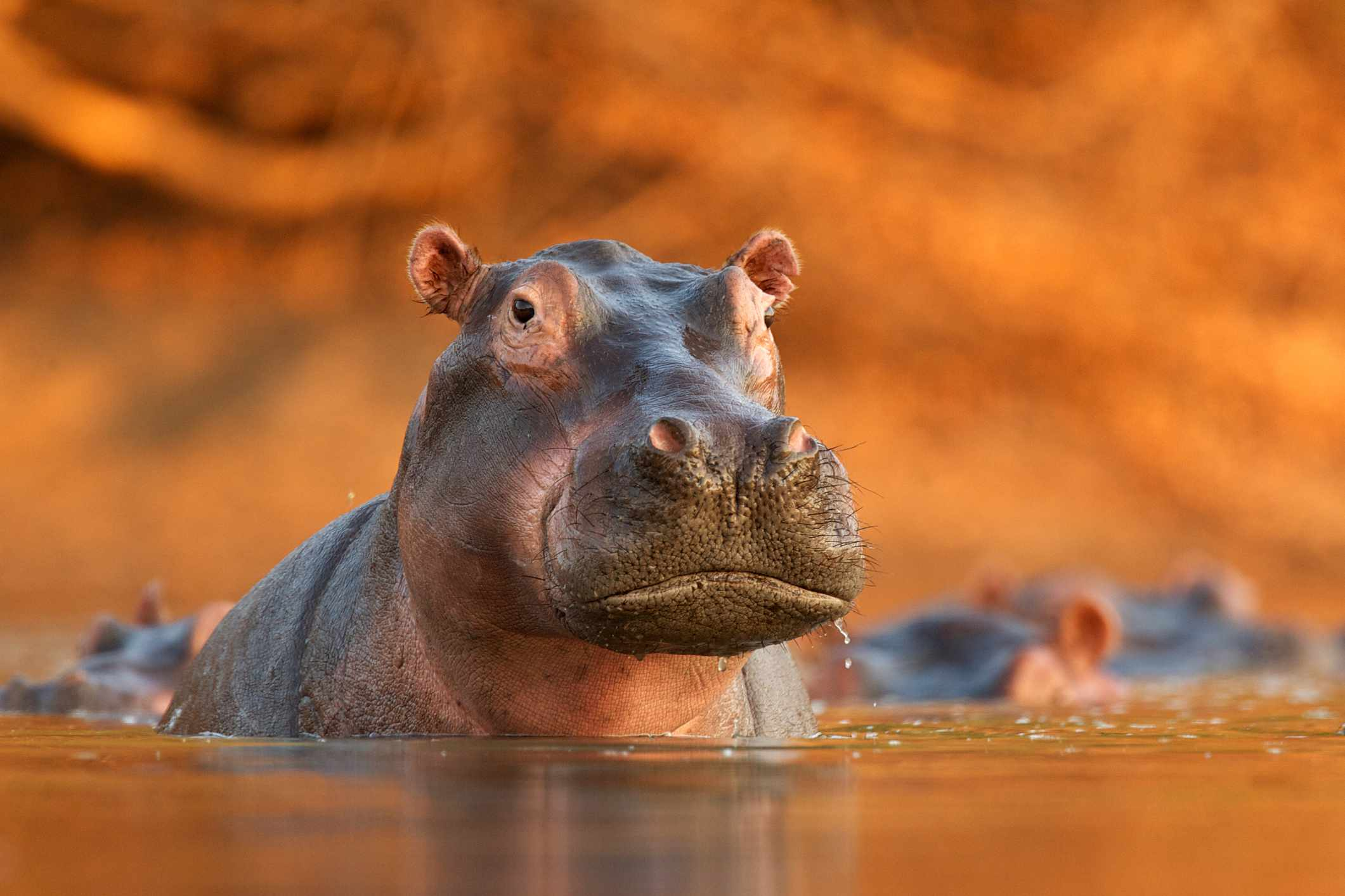 Hippo rising from a river