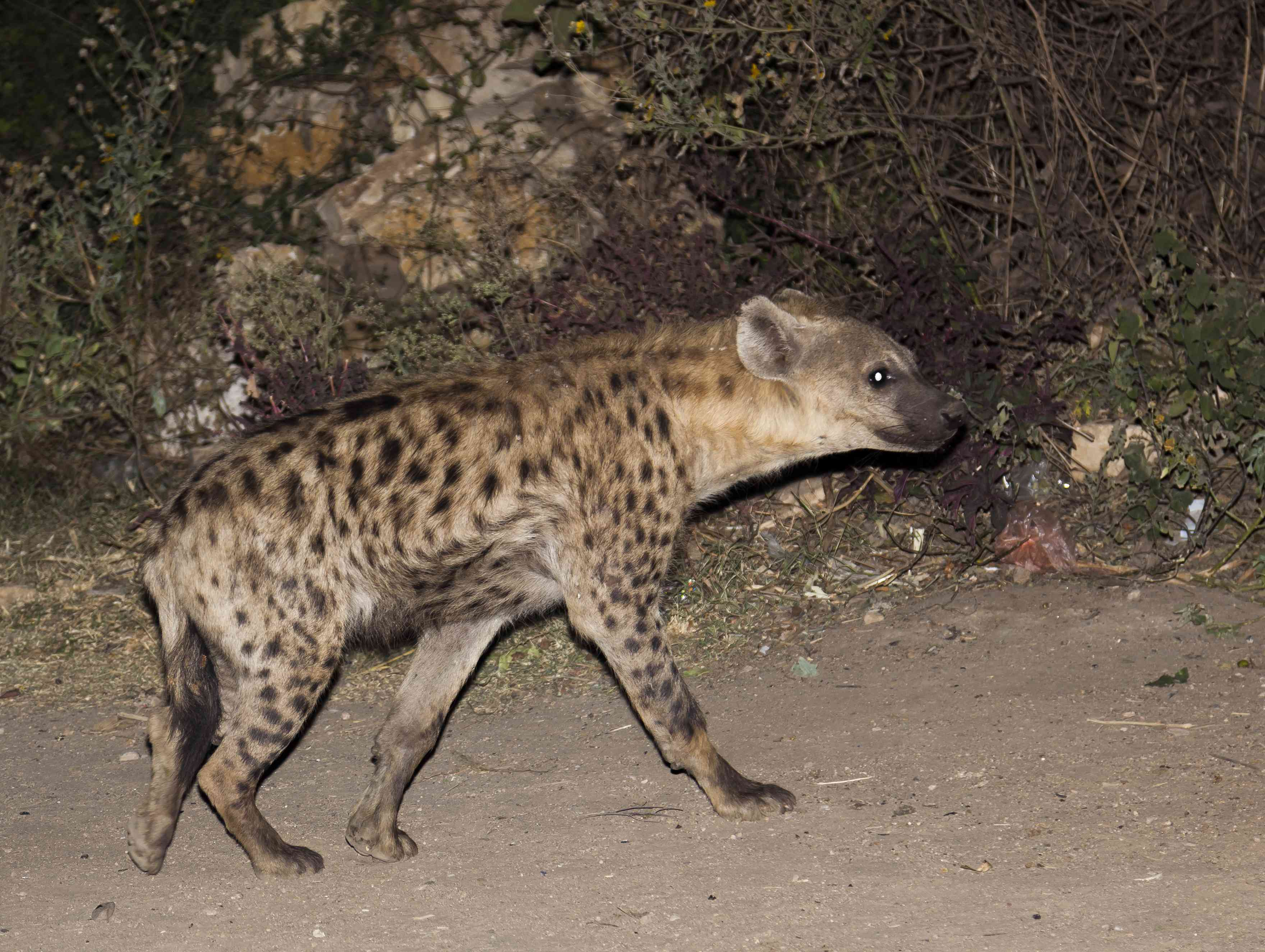 Spotted hyena arrives to be fed in Harar Jugol, Ethiopia