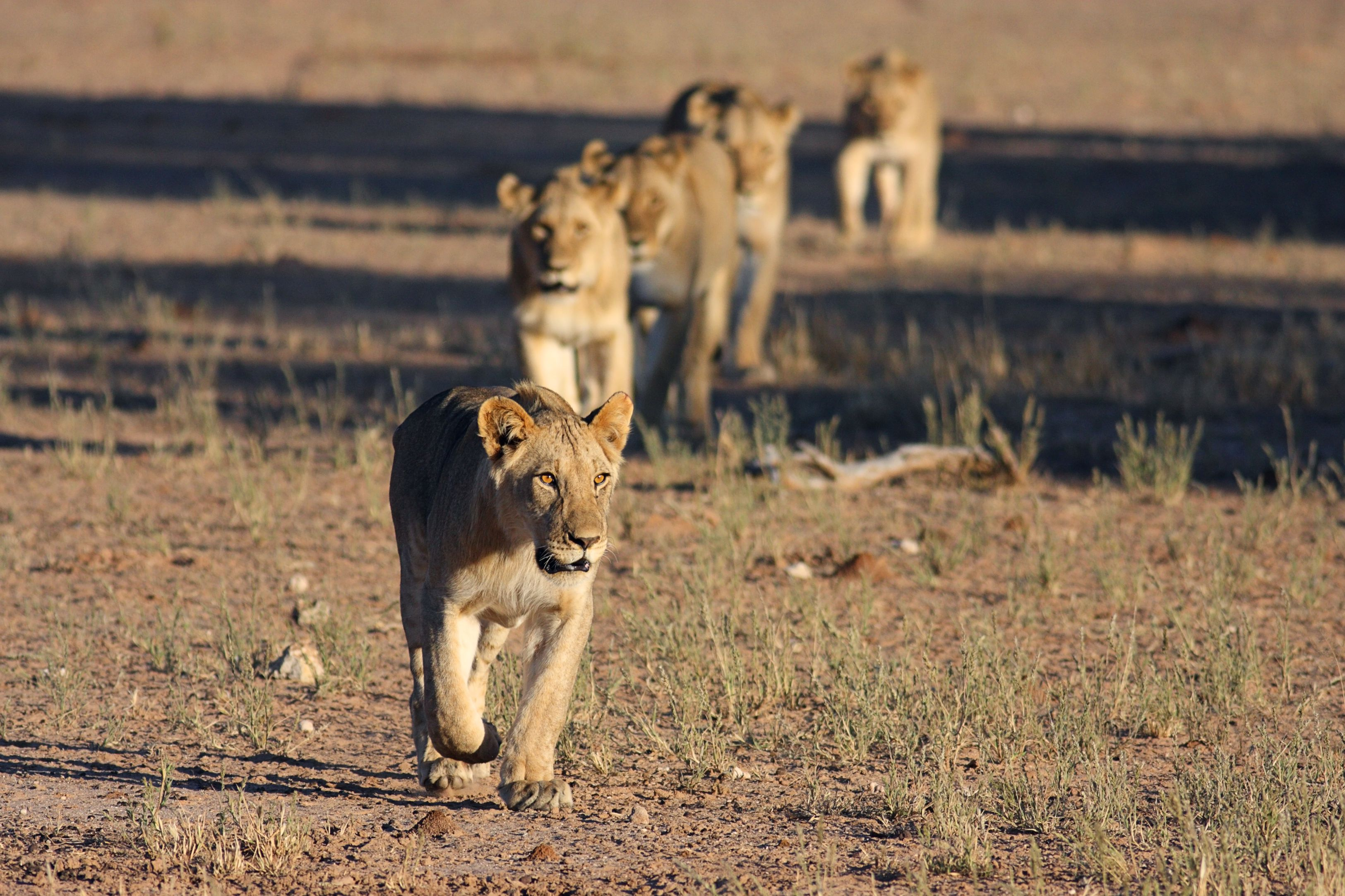 Lion pride moving across the African plain
