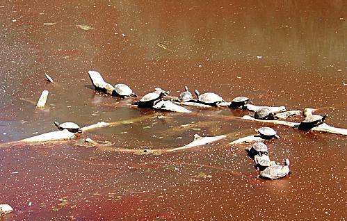 Rio Grande Nature Center Turtles