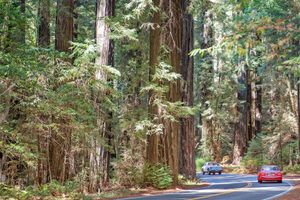 Cars Driving on the Avenue of the Giants