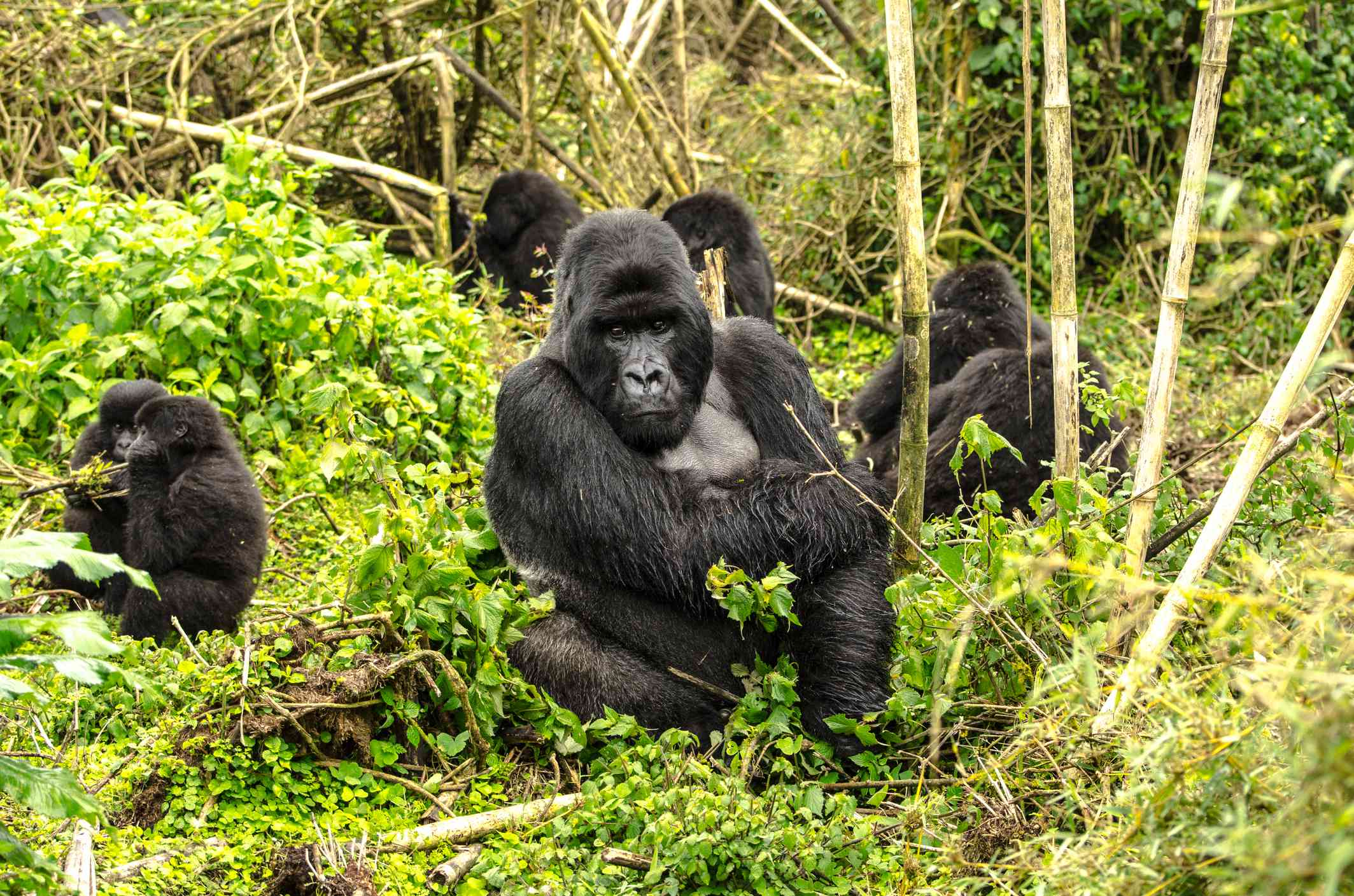 Silverback gorilla and family, Volcanoes National Park