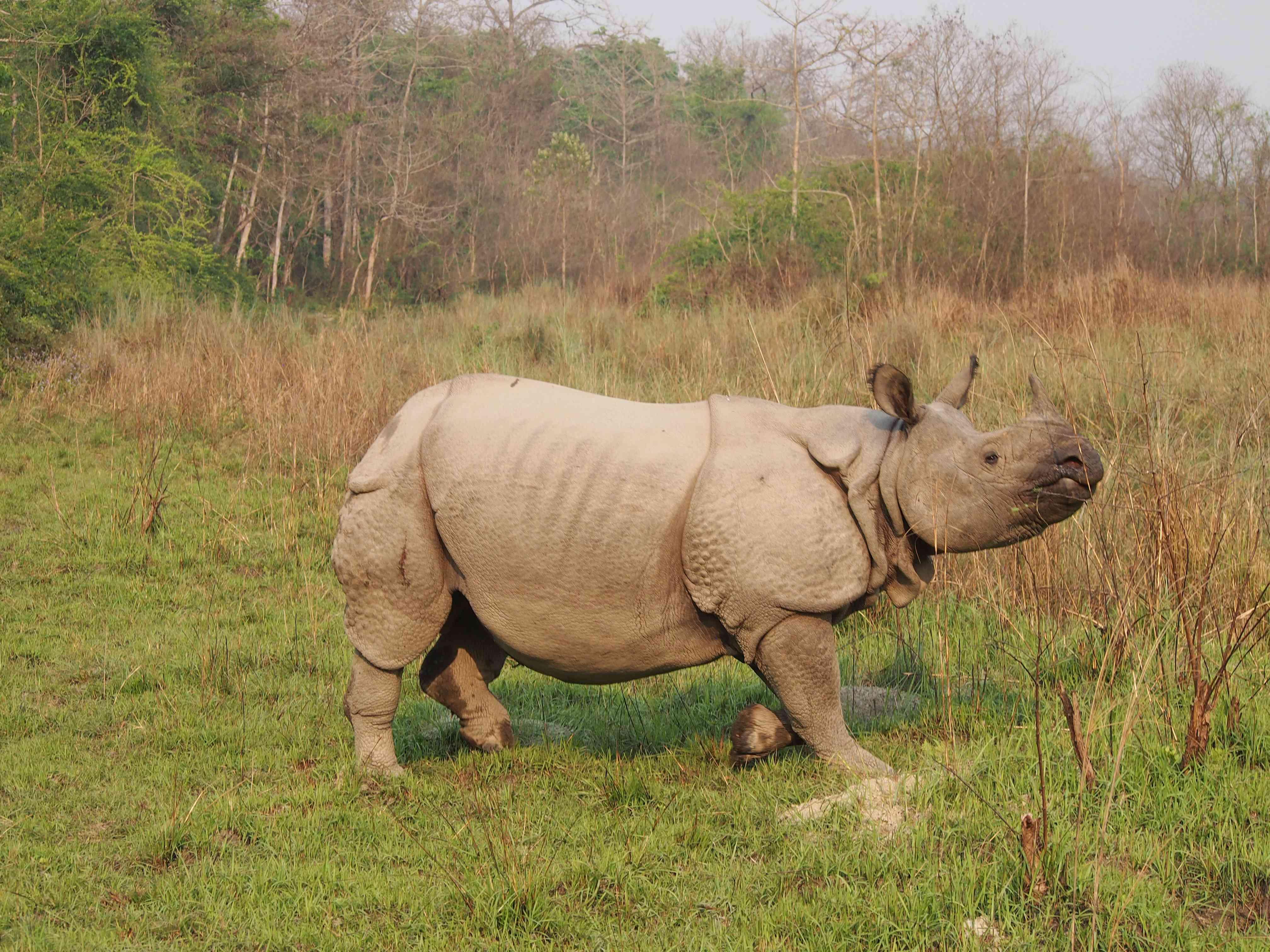 grandes rinocerontes caminando por la hierba en el Parque Nacional de Chitwan