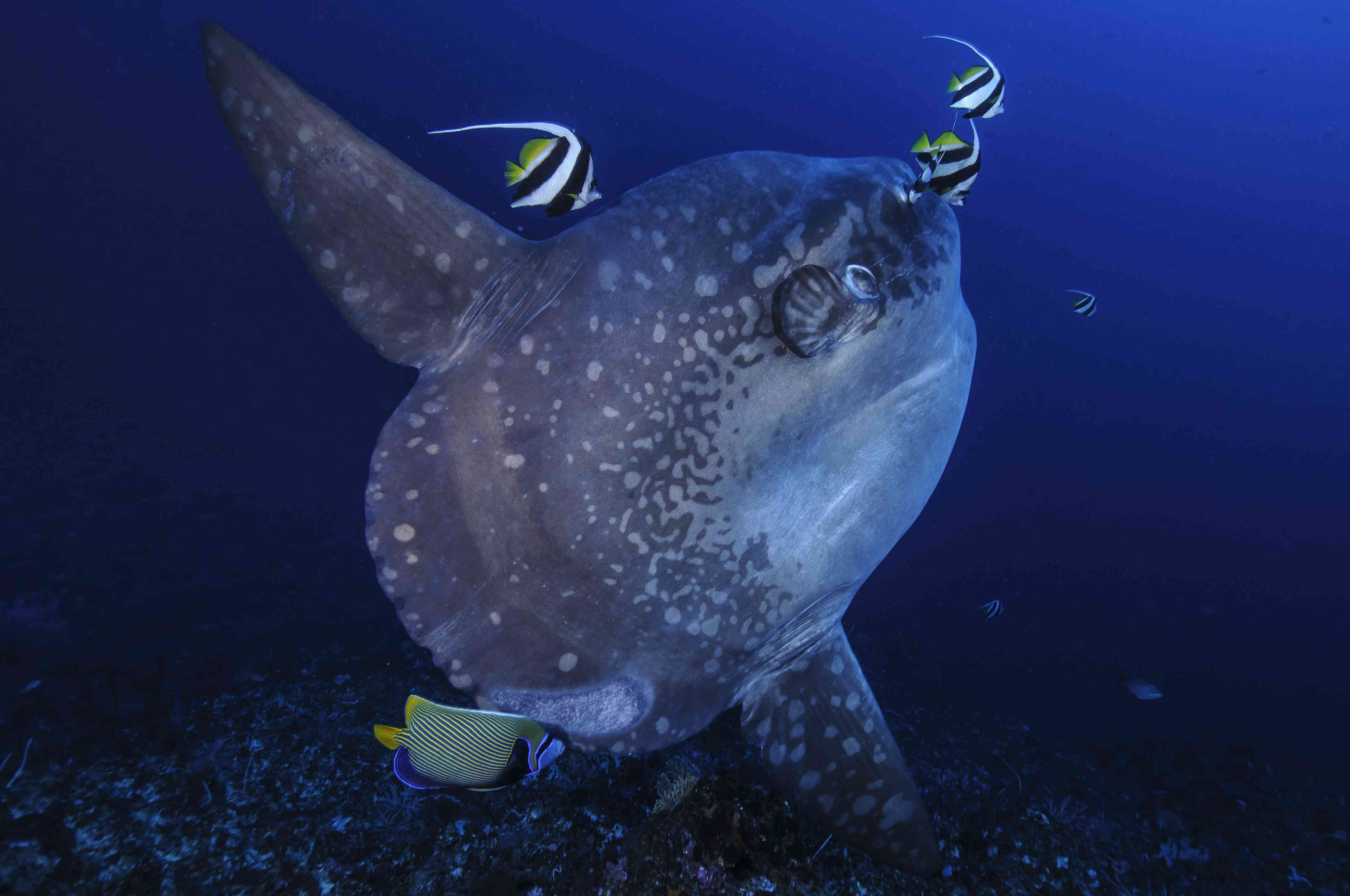 Large Mola Mola Sunfish at Cleaning Station in Bali