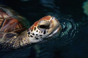 Honu surfacing at the Maui Ocean Center in Hawaii