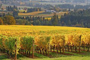 Willamette Valley vineyard in autumn, Oregon