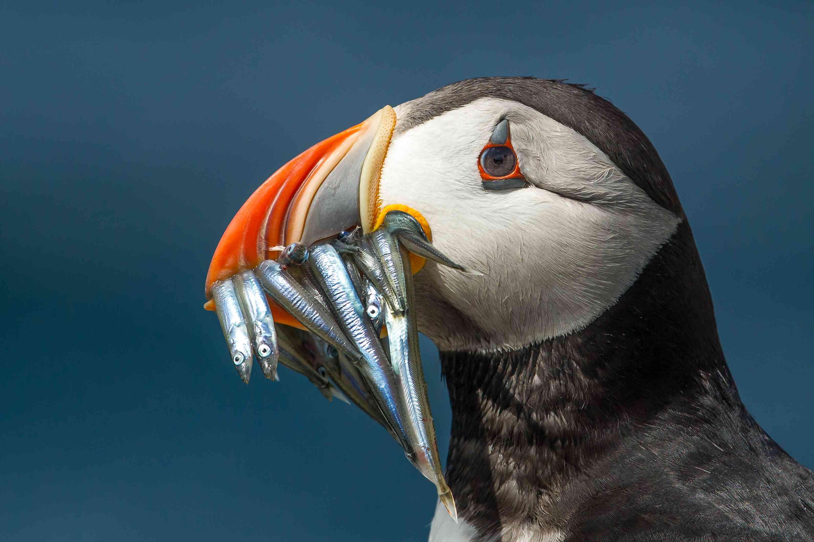 Puffin with a full beak, Farne Islands