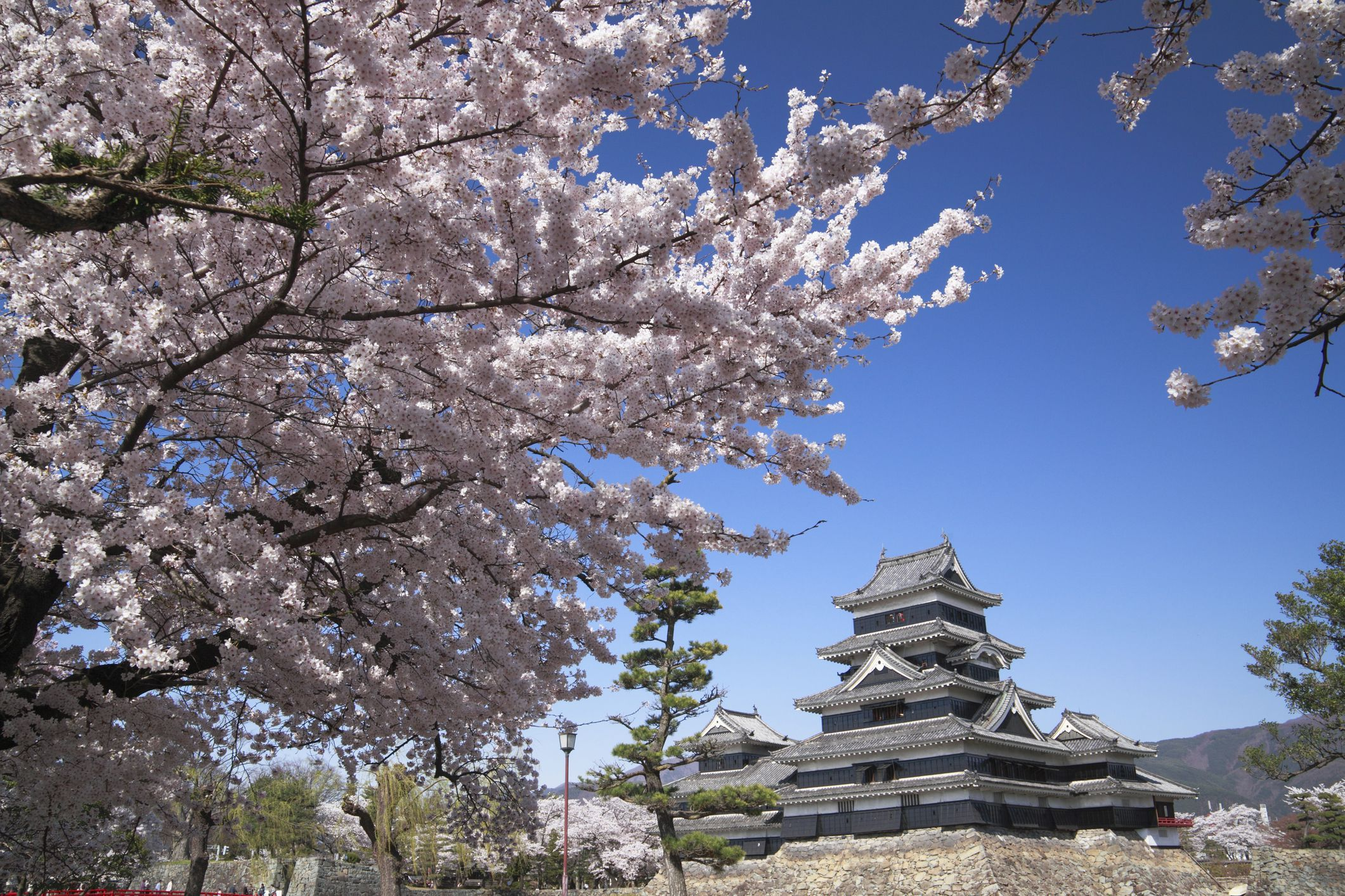 Close-up of cherry blossom tree with Matsumoto Castle in the background