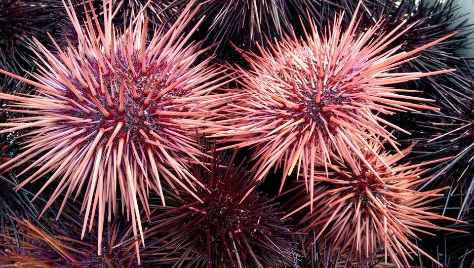 High Angle View Of Sea Urchins