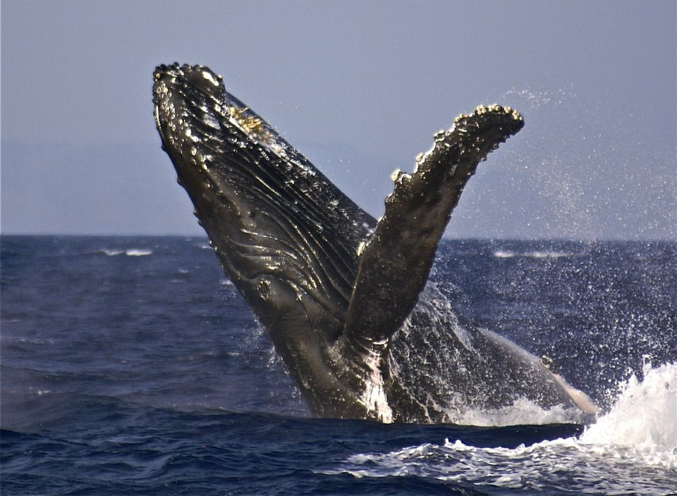 A humpback whale breaches off the island of Maui, Hawaii