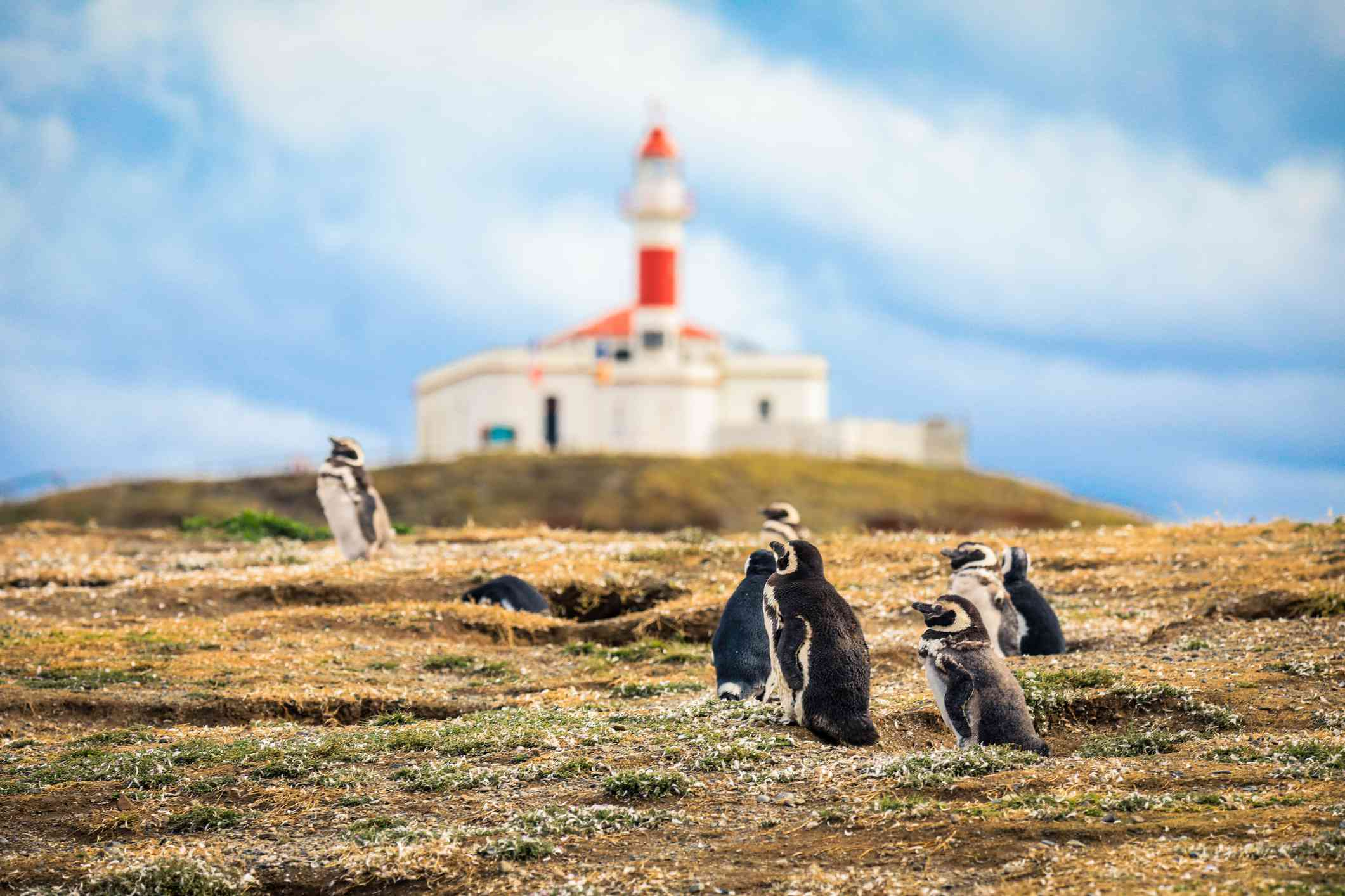 The Magellanic penguins with the Lighthouse of Magdalena Island background