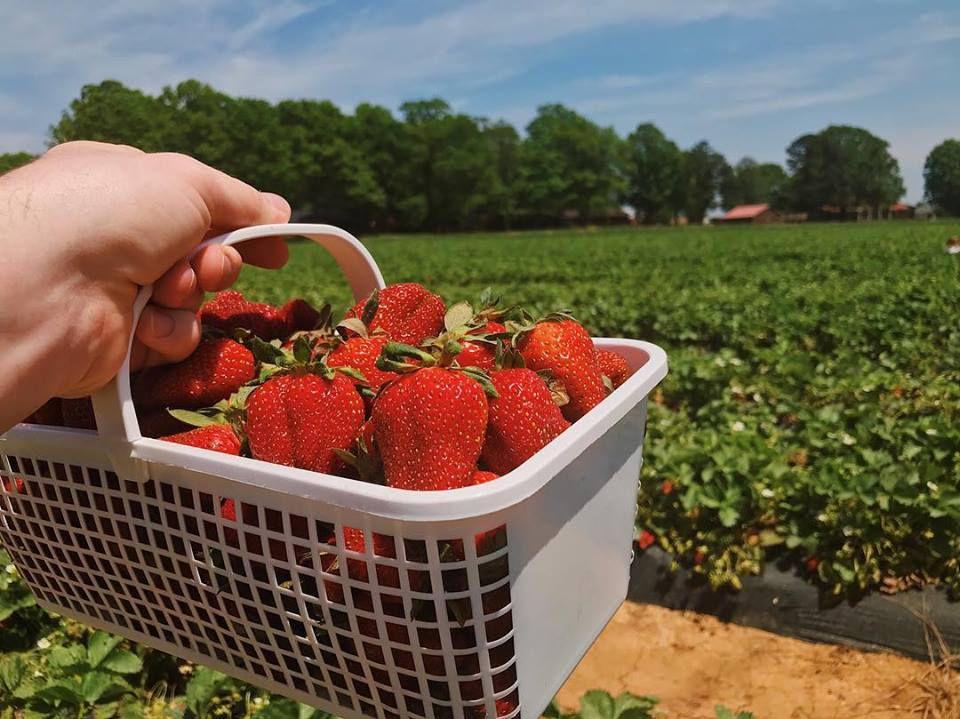 Strawberries at Carrigan Farms