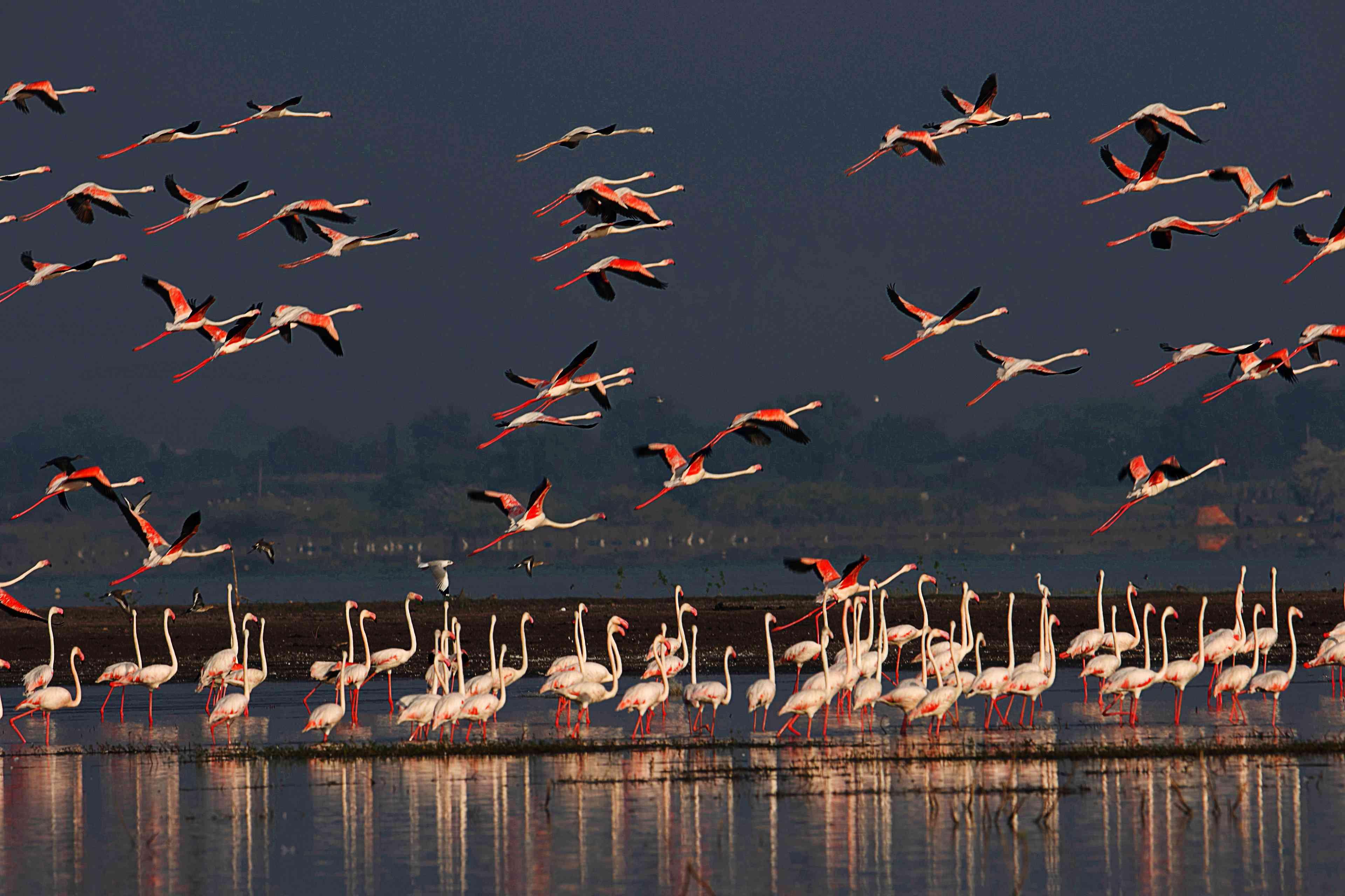 Flock of Greater Flamingos, Phoenicopterus roseus, Ujjani Dam backwaters, Bhigwan