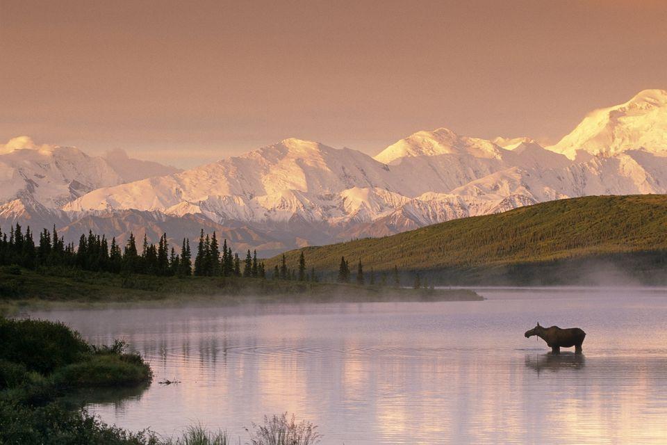 Moose Standing In Wonder Lake Below Alaska Range