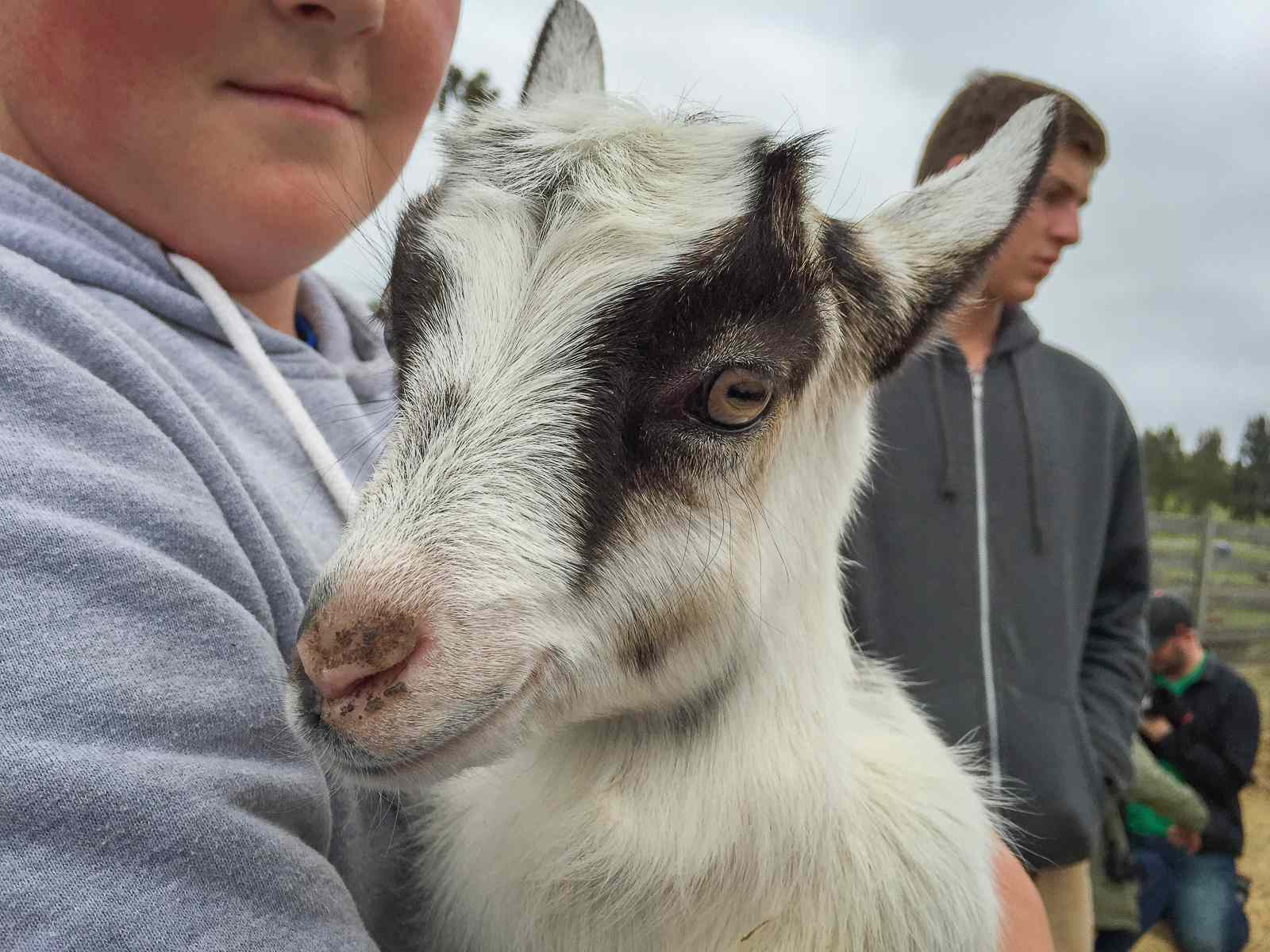 Baby goats in the spring at Harley Farms Goat Dairy