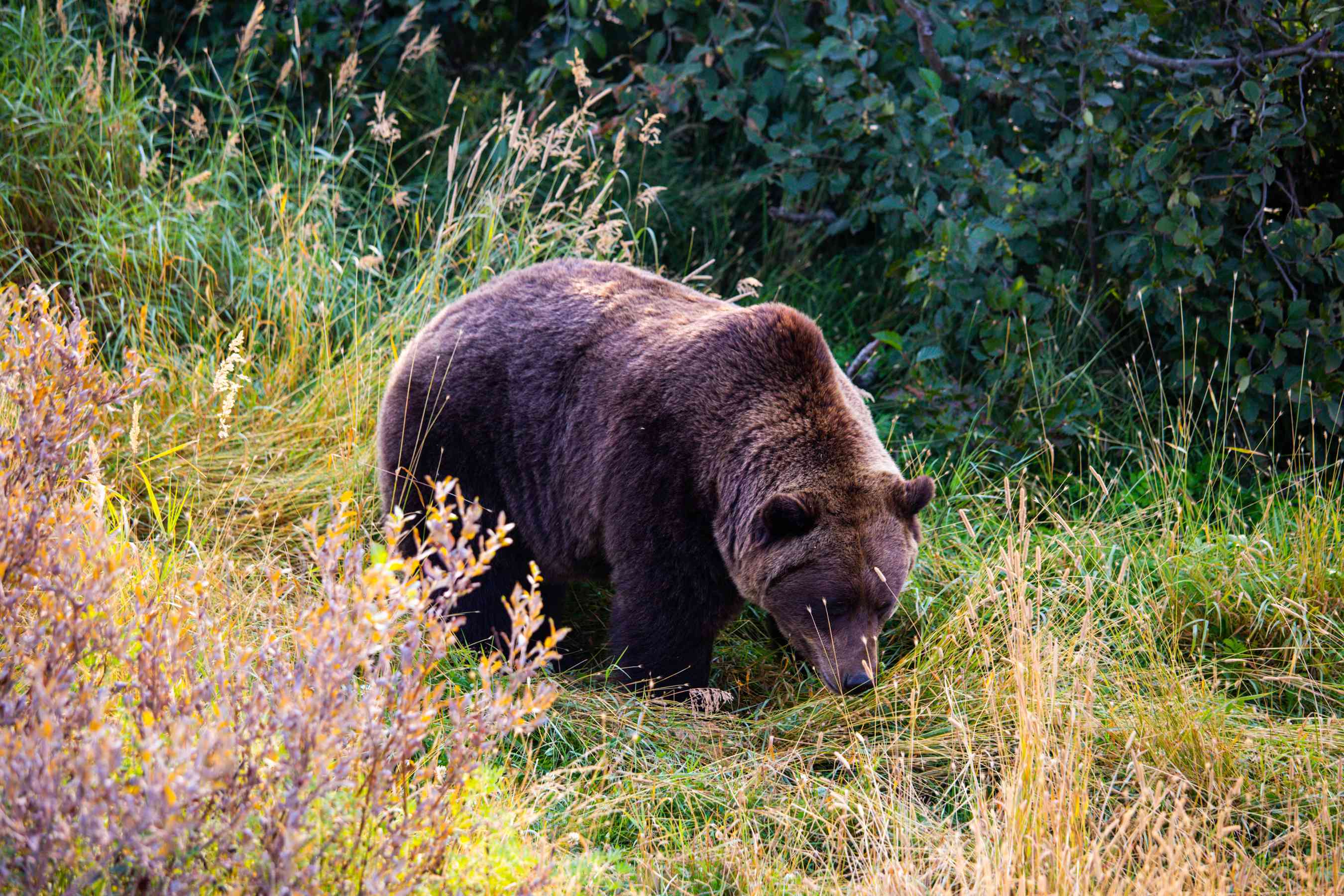 A brown bear in the Wildlife Conservation Center