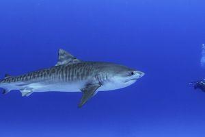Diver with juvenile tiger shark in Honokohau Harbor, Hawaii