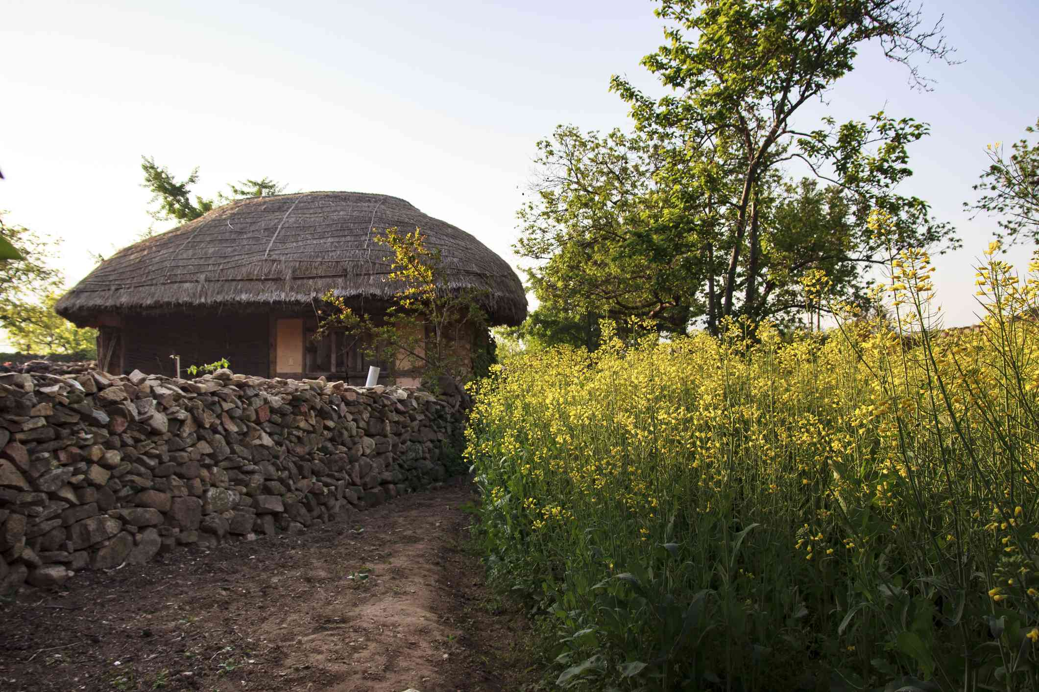 Thatched House & Rapeseeds