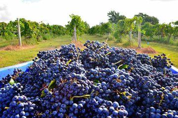 The beautiful grapes at Messina Hof Winery