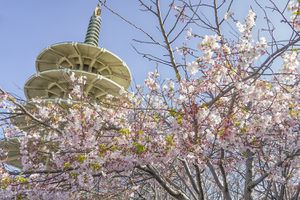 Cherry Blossoms in San Francisco' Japantown