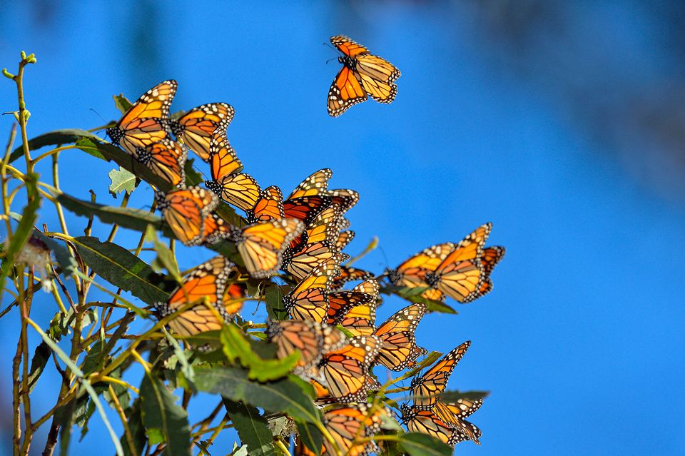 Image result for Monarch Butterflies Reserve
