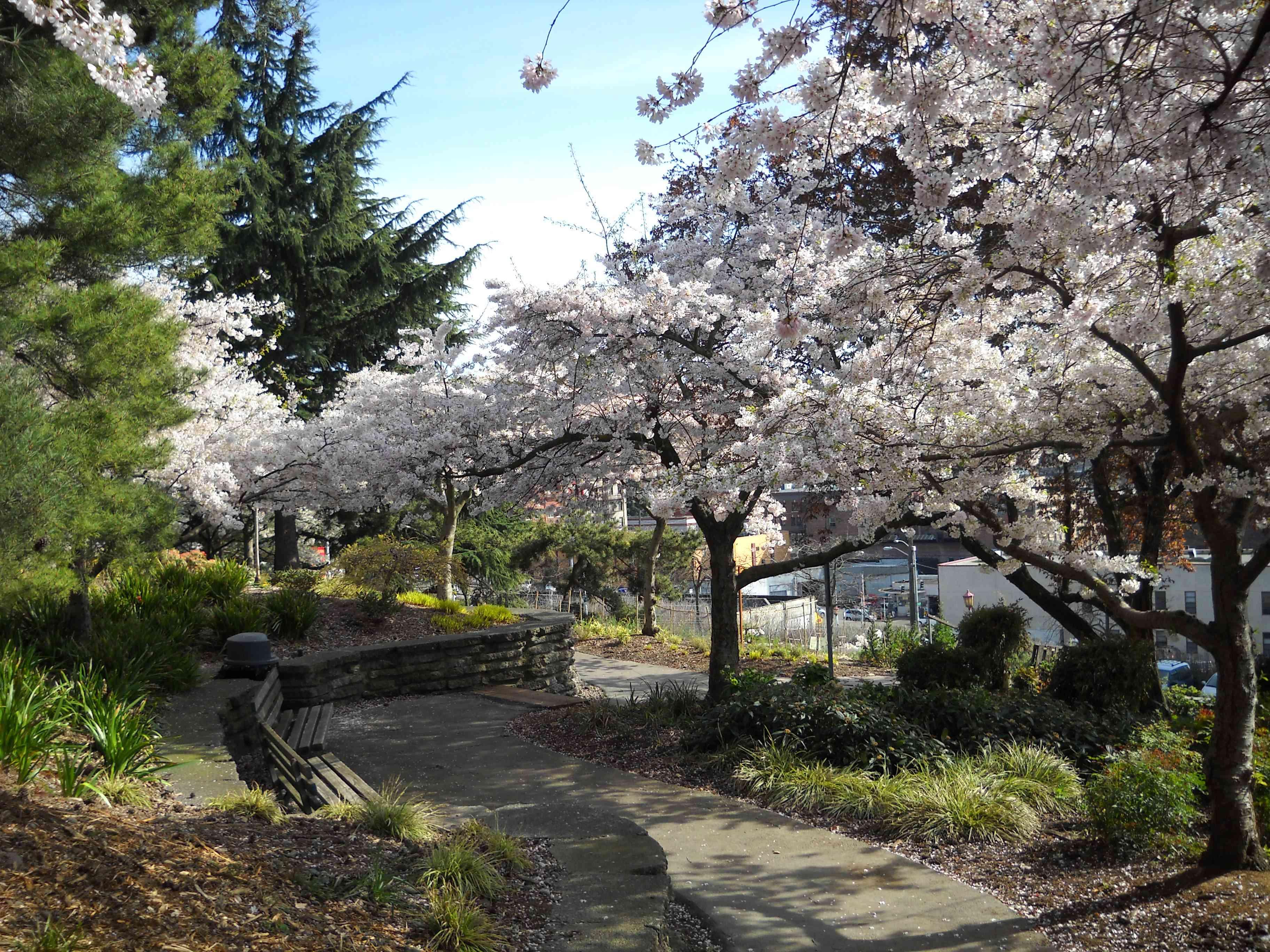 Cherry trees in bloom at Kobe Terrace