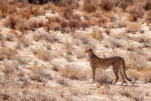 Cheetah looking for prey in the Kgalagadi park, South Africa