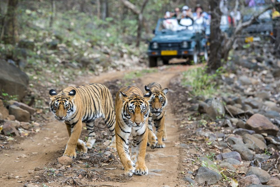 Three Bengal tigers with safari jeeps in background