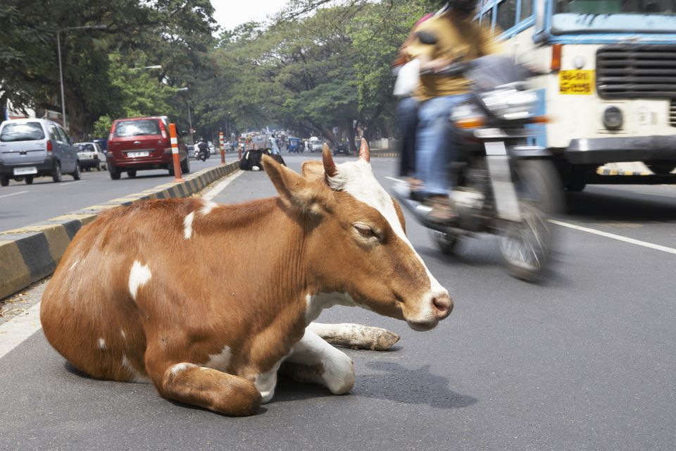 True And False Stereotypes About India Cow On Road In India