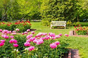 Peony flowers in a park in Lexington, Kentucky